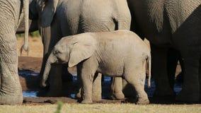 African elephant calves stock video