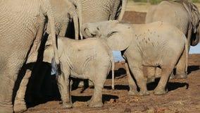 African elephant calves stock footage