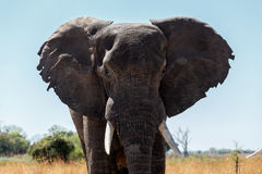 African Elephant in Caprivi Game Park Royalty Free Stock Photo