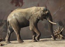 African elephant in captivity Stock Image