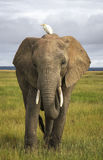 African elephant with cattle  egret Royalty Free Stock Photos