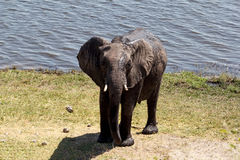 African Elephant in Chobe National Park Royalty Free Stock Images