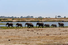 African Elephant in Chobe National Park Stock Photos