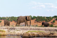 African Elephant in Chobe National Park Stock Photo