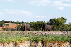 African Elephant in Chobe National Park Stock Image
