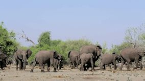 African Elephant in Chobe National Park stock video