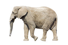 African elephant with clipping path Stock Image