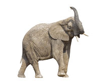 African elephant with clipping path Stock Images