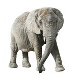 African elephant with clipping path. Front view of african elephant with clipping path Royalty Free Stock Images