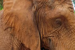 27 African Elephant close encounter sanctuary ear adn eye closeup. African Elephant close encounter sanctuary ear adn eye closeup royalty free stock photography