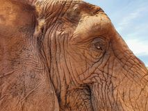21 African Elephant close encounter sanctuary ear and eye closeup stock photography