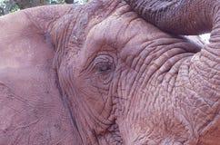 20 African Elephant close encounter sanctuary head and eye closeup stock photos