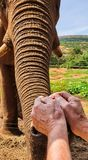 25 African Elephant close encounter sanctuary man feeding stock photography