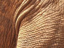 32 African Elephant close encounter sanctuary skin texture closeup royalty free stock image