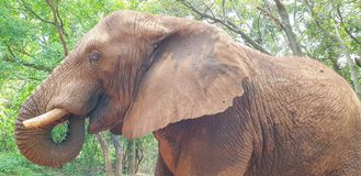 06 African Elephant close encounter sanctuary trunk in mouth stock photos