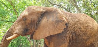 04 African Elephant close encounter sanctuary trunk royalty free stock photos