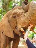 19 African Elephant close encounter sanctuary woman hand in mouth stock images