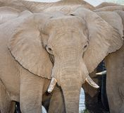 African Elephant. A close portrait of an African elephant`s face Royalty Free Stock Image