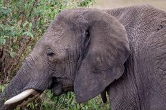 African elephant close-up stock photo