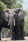 African elephant close up, chobe national park, botswana, africa.  royalty free stock images