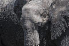 African elephant close up, chobe national park, botswana, africa.  stock image