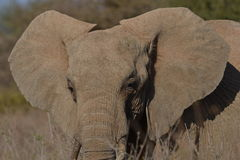 African Elephant close up Royalty Free Stock Photography