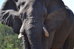 African Elephant Close-up Royalty Free Stock Photography