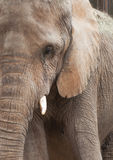 African Elephant Close Up Stock Image