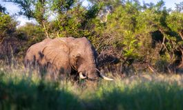 African elephant. A close up of an African elephant at sunrise Royalty Free Stock Photo