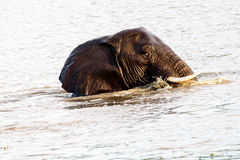 African Elephant cooling off Royalty Free Stock Photo