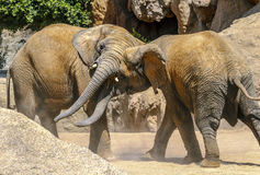 African elephant couple playing with prompts Royalty Free Stock Photography