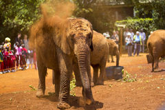 African elephant covered in dust. Baby African elephant (Loxodonta africana) covered in dust, David Sheldrick Orphanage Kenya Royalty Free Stock Image