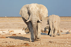 African elephant covered in mud Stock Images