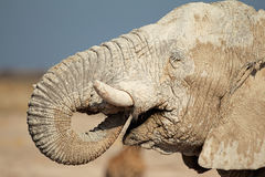 African elephant covered in mud Stock Image