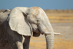 African elephant covered in mud Royalty Free Stock Photos