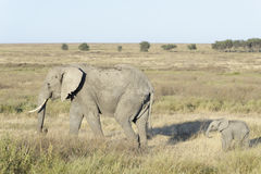 African elephant cow with baby Royalty Free Stock Image