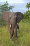 African elephant cow and calf Royalty Free Stock Images
