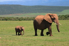 African Elephant Cow and Calf. Walking across the African Savanah stock photos