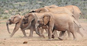 African Elephant Cow Herd. A typical African elephant cow herd or breeding herd. Led by a matriarch the herd numbers are usually between about 5 to 8 animals Stock Photos