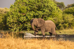 African Elephant crosses the river Royalty Free Stock Photography