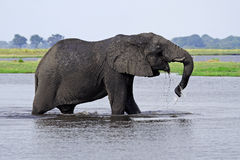 African elephant crossing the Chobe River Stock Photography