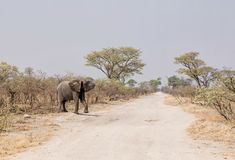 Elephant Crossing Road. An  African Elephant crossing a road in Namibia Royalty Free Stock Images
