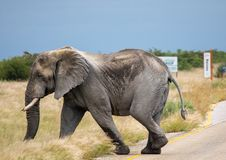 African Elephant crossing a street in the Nxai Pan National Park in Botswana. During summer time royalty free stock photography