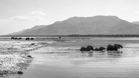 African Elephant crossing the Zambezi river. Black and white royalty free stock images
