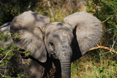 African Elephant Cub (Loxodonta Africana). The African Elephant (Loxodonta africana) is the largest living land dwelling animal, normally reaching 6 to 7 meters stock images