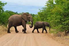 African Elephant with cub (Loxodonta africana). African Elephant (Loxodonta africana) with cub on a road in South Africa stock photos