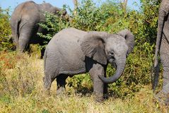 African Elephant Cub (Loxodonta africana) Royalty Free Stock Images