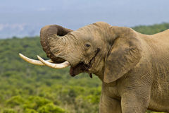 African elephant curling its trunk around its ear Royalty Free Stock Photography