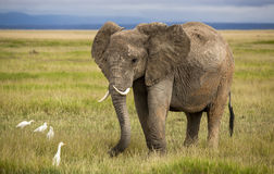African elephant with curved tusks Royalty Free Stock Photography