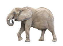 African Elephant Cutout. A large African Elephant isolated on a white background. Clipping Mask included stock photo
